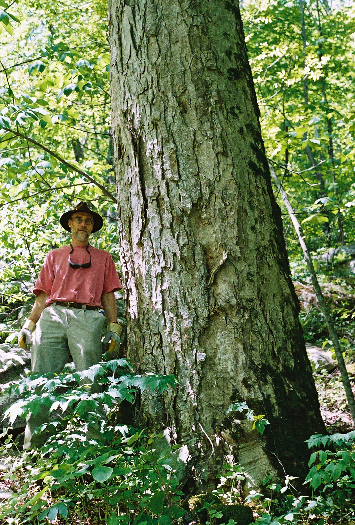 John Myers Big Tree