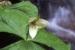 Trillium simile_Sweet White Trillium- David Campbell