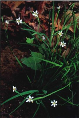 White Irisette
