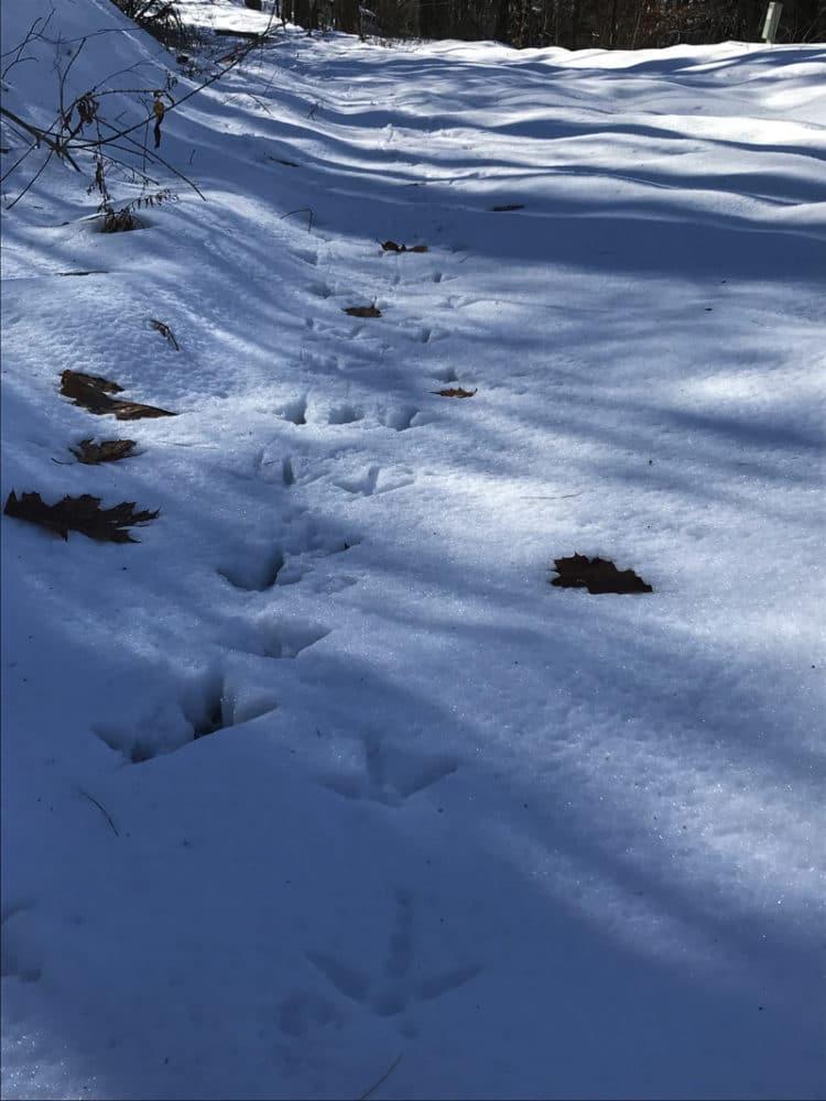 Turkey tracks in the snow