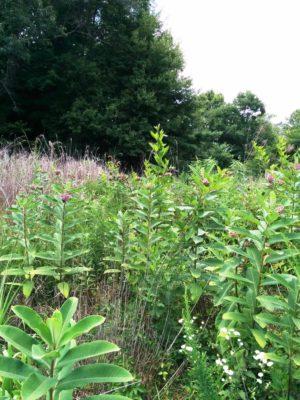 common milkweed patch