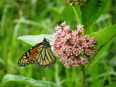 Monarch on common milkweed
