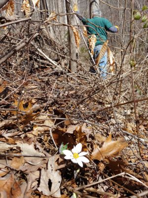 Bloodroot blooms near where volunteer Greg Miner helped clear kudzu.