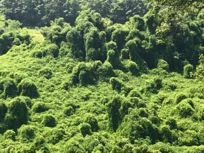 Kudzu across the road from Norman Wilder Forest