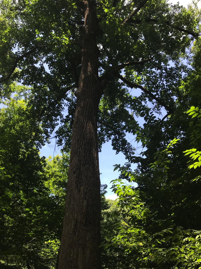 Tall tree in Norman Wilder Forest