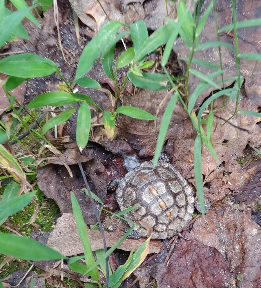 Turtle at Norman Wilder Forest