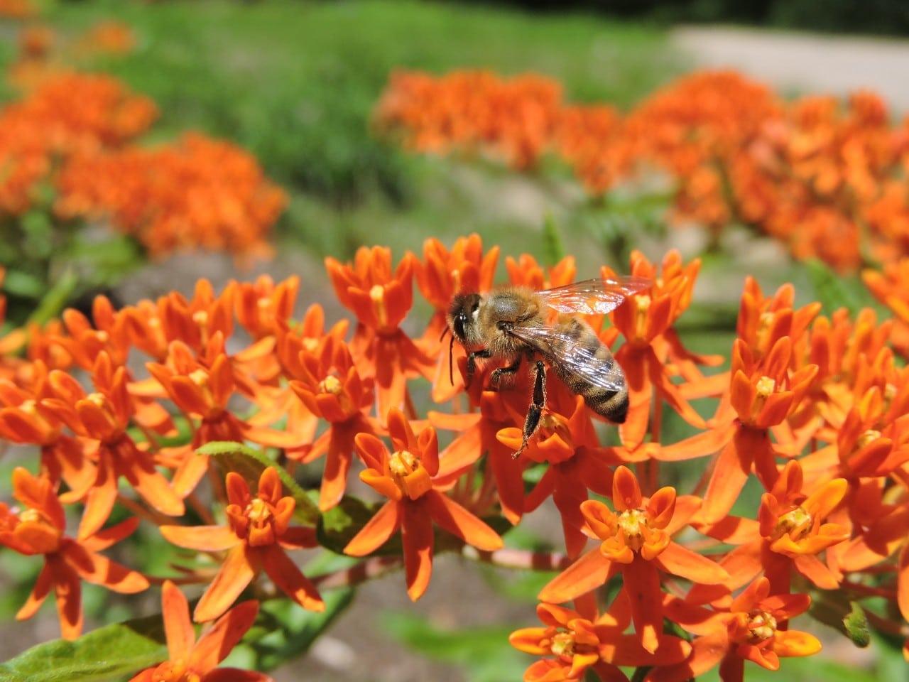 honeybee on butterfly weed