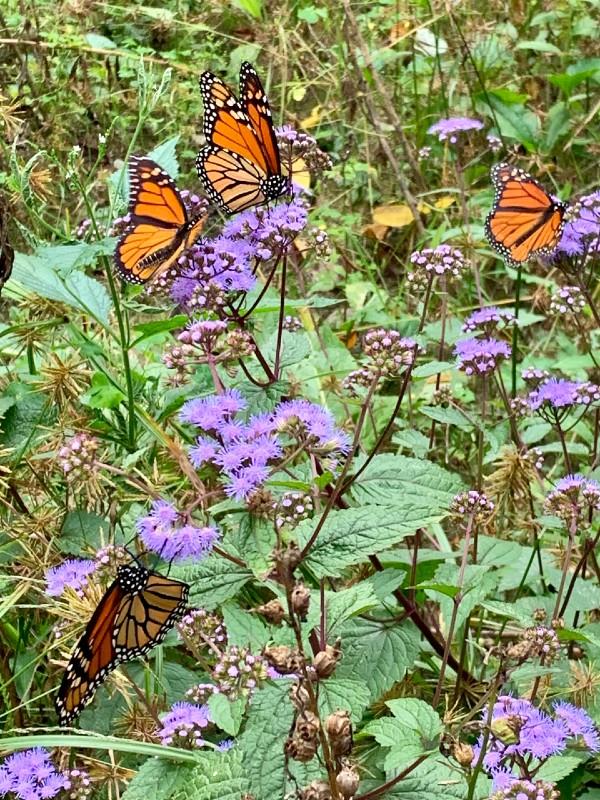 Monarch butterflies on blue mistflower