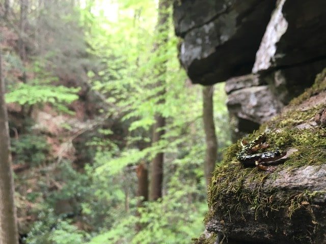 Hickory Nut Gorge green salamander