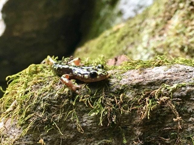 Hickory Nut Gorge green salamander.
