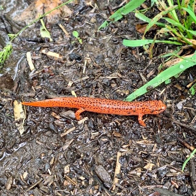 Red salamander at Carolina Memorial Sanctuary