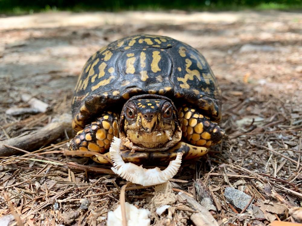 Box Turtle by Angela Prodrick (1)