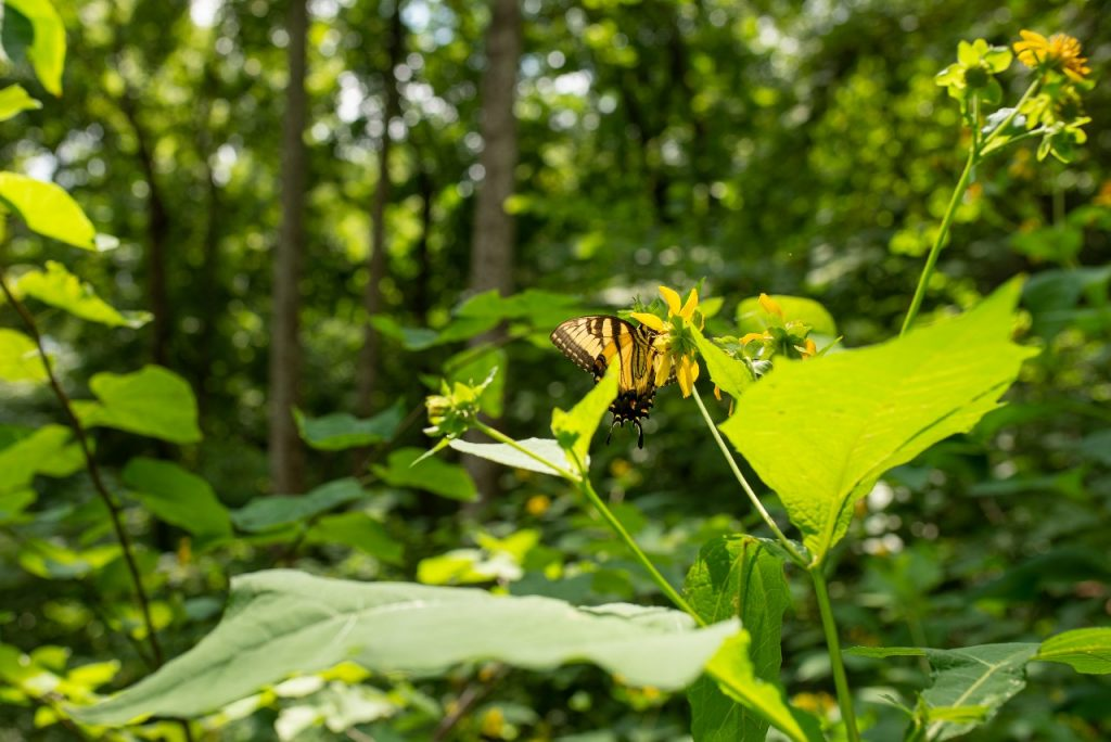 Butterfly on Youngs Mountain Trail. Photo by Gordon Tutor.